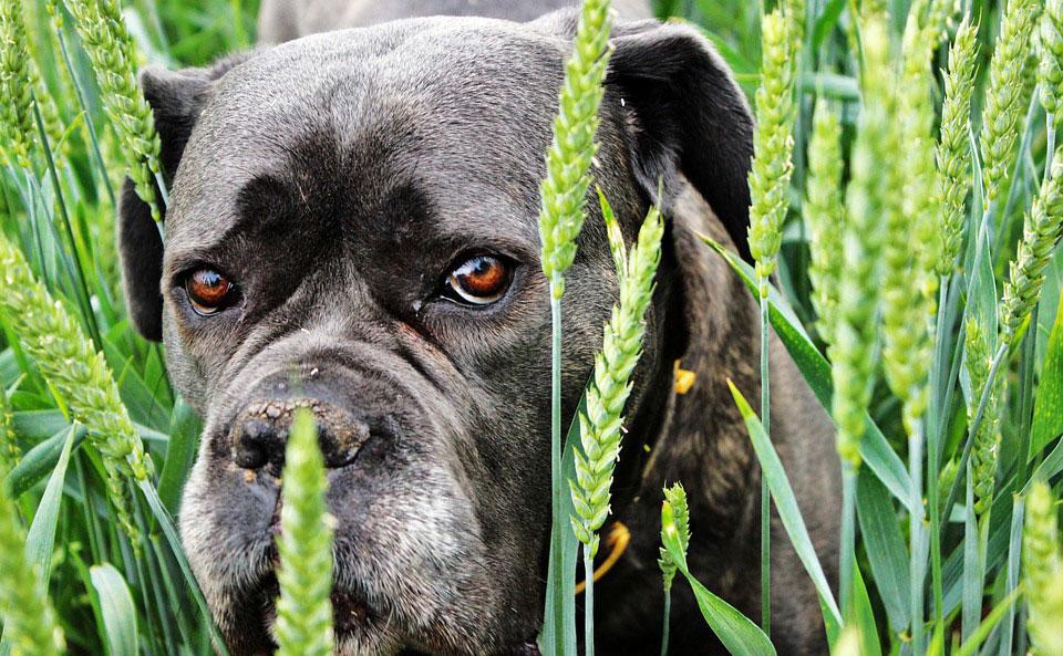 Es gibt Hunde mit Getreide Allergie