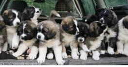 Hunde Welpen warten auf Welpenfutter
