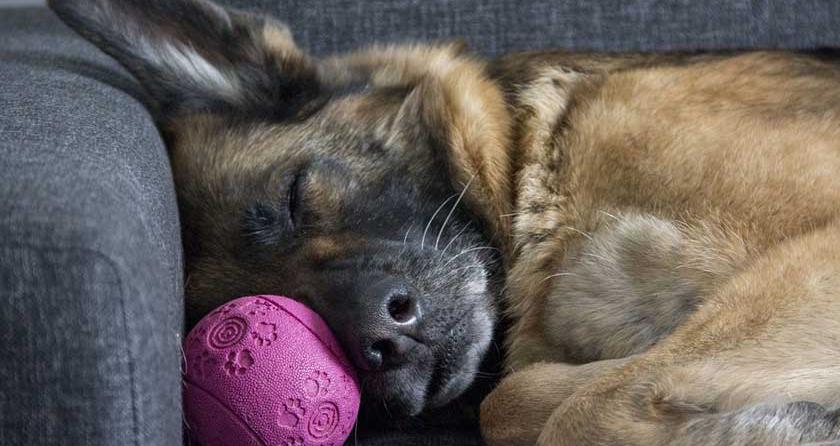 Hund schläft auf der Couch