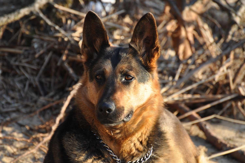 BARF Hundefutter: Fütterung bei deutscher Schäferhund