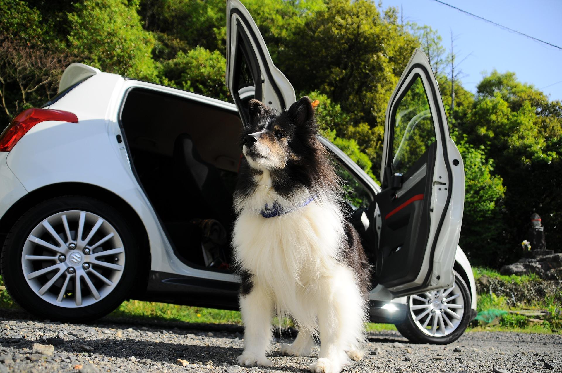 Hund vor Auto